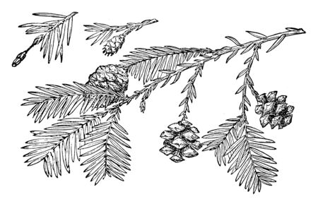 This picture is showing Pine Cone of Redwood trees branch with leaves & flower this is also known as Sequoia Sempervirens, vintage line drawing or engraving illustration.