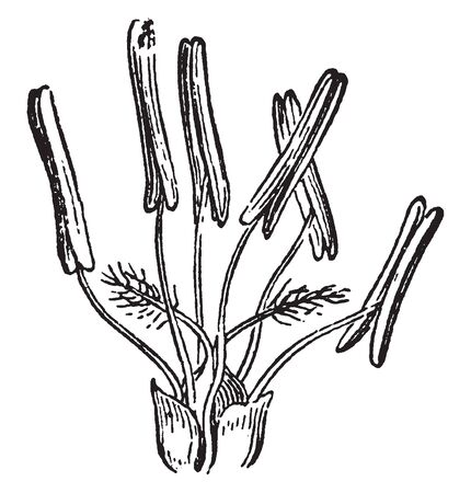 This picture showing grass flowers, stigma and anther growing up to ovary, vintage line drawing or engraving illustration. Фото со стока - 132862261