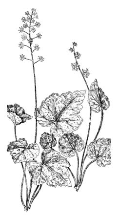 A picture of False Mitrewort(tiarella unifoliata) and Naked Mitrewort(Mitella nuda). It consists of tiny white flowers hanging in loose clusters on leafy stems, vintage line drawing or engraving illustration.