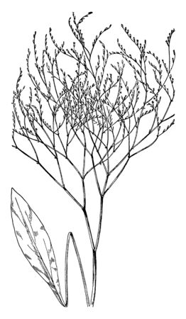 A picture, thats showing a Marsh rosemary plant. The stem is very thin. Leaves small and oval shaped. This is from Plumbaginaceae family, vintage line drawing or engraving illustration.