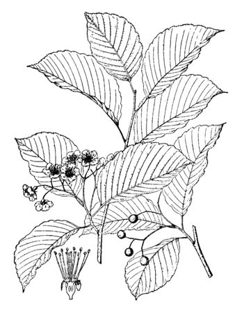 This picture is showing a sorbus alnifolia. The fruit is small and rounded. The leaves are oval shaped and thin. The flowers are very small, vintage line drawing or engraving illustration.