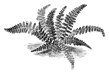 A picture showing Asplenium Fontanum. It is found in odd subspecies in western and central Europe. The fronds of the plant are oblong and narrow towards the base. Fronds are three to six inches long, vintage line drawing or engraving illustration.