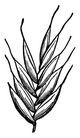 This picture showing part of Italian ray grass, this is leaves, leaves are very short and thin upper side of leaves is hairy, leaves attach to branch, vintage line drawing or engraving illustration.
