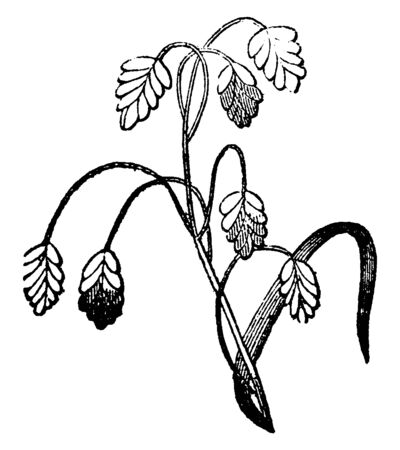 A picture showing a panicle. The branches are thin and long, vintage line drawing or engraving illustration.