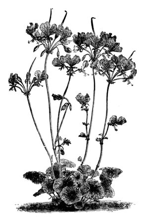 Pelargonium Endlicherianum is a clump-forming perennial. The flowers are relatively large and comprise two large, upper, carmine-magenta petals and three much smaller lower ones, vintage line drawing or engraving illustration.