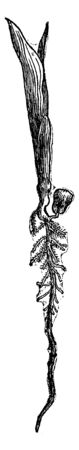 it is the corn plant. The plant is getting ready from the seed and its roots are long, vintage line drawing or engraving illustration. Vettoriali