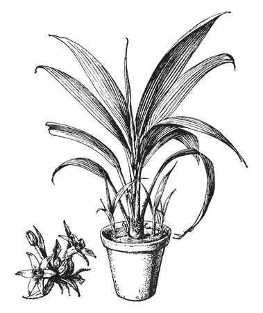 This is the image of Curculiga Latifolia. The flowers are bright yellow and grow in a dense cluster near the base of the plant. It is normally found in India and Malaysia, vintage line drawing or engraving illustration.