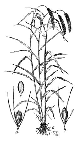 These seedlings are very straight forward; the crop is bent at the top side because the grain is slightly more in weight, vintage line drawing or engraving illustration. Ilustração
