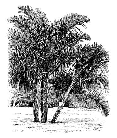 A picture showing trees of Wallichia Disticha. These trees are one out of seven similar species belonging to the Arecaceae family and commonly seen in the Himalayas and parts of China, vintage line drawing or engraving illustration.