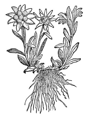 A picture is showing Edelweiss, also known as Leontopodium Alpinum. This is a well-known mountain flower, belonging to the Asteraceae or Sunflower family, vintage line drawing or engraving illustratio 일러스트
