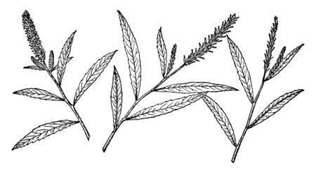A branch of Salix Sesillilifolia. The leaves are up to 12 centimeters long, oval with pointed tips, edged with spiny teeth, and generally coated thinly in silky hairs, vintage line drawing or engraving illustration.