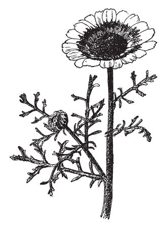 The image shows a Chrysanthemum Carinatum. It has fleshy leaves. The flowers are nearly two inches across with white rays and a yellow ring at the base, vintage line drawing or engraving illustration.