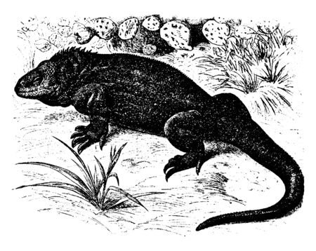 Galapagos land lizard is a species of lizard in the family Iguanidae and is one of three species of the genus Conolophus, vintage line drawing or engraving illustration.