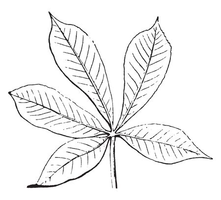 Adding to the stem has leaves. And the vein, midrib, samll neteed vein above leaf are visible, vintage line drawing or engraving illustration.