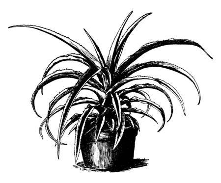 A picture is showing a plant of Ananas Sativus Variety Variegatus. This plant is a variety of pineapple and has striped leaves, vintage line drawing or engraving illustration.