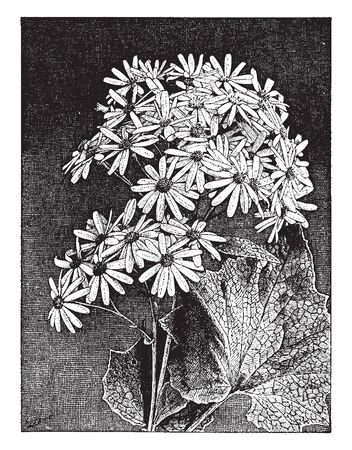 These are the garden or potted plants derived from a perennial scenario of the Canary Islands and has heart-shaped leaves and clusters of bright flower heads, vintage line drawing or engraving illustration. Ilustração