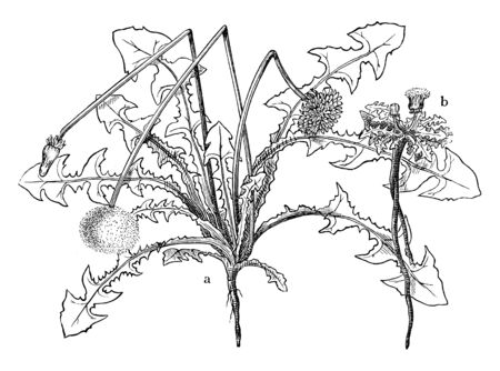 Common Dandelion is a flowering herbaceous perennial plant and these also known as taraxacum officinale, vintage line drawing or engraving illustration. Ilustração