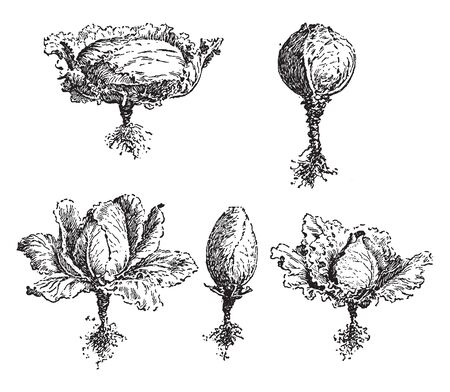Cabbage comes in many forms the shapes like flat, egg shape, oval, conical or round, vintage line drawing or engraving illustration.