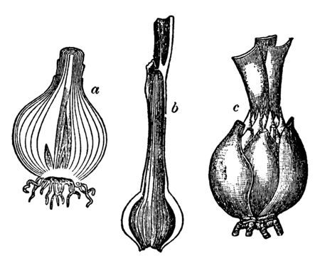 These are the various bulb of Onion, and Lily.They are worked as food storang organ in plant, vintage line drawing or engraving illustration. Illusztráció