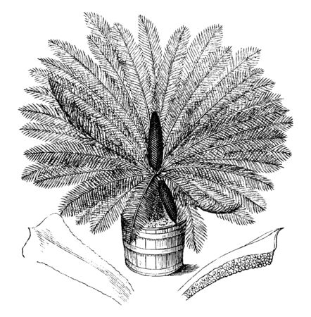 A picture showing the plant of Sago Cycad or Cycas Revoluta is known as the palm king sago, but it is not a palm, vintage line drawing or engraving illustration. Ilustrace