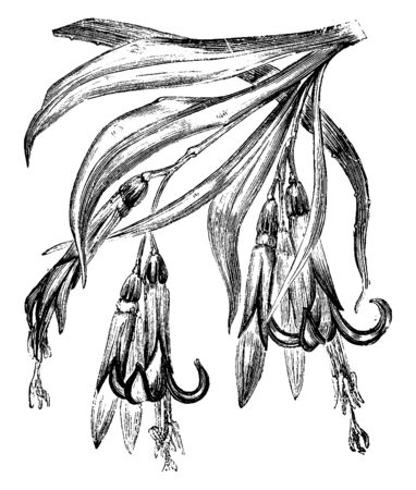 The flowers showing Billbergia Ntans. Seven to eight liner leaves pieces of stuff grow in a tube with tabular flower, vintage line drawing or engraving illustration.