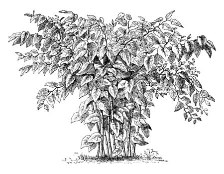 Giant Knotweed also known as Polygonum sachalinense is a perennial herb green plant grows much taller, up to 4m high and has larger leaves 40cm long with heart-shaped bases, vintage line drawing or engraving illustration.