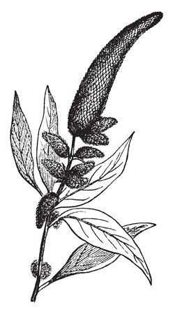A picture shows Amaranth Plants. It is a cosmopolitan genus of annual or short-lived perennial plants. Some amaranth species are cultivated as leaf vegetables, pseudocereals, and ornamental plants, vintage line drawing or engraving illustration.