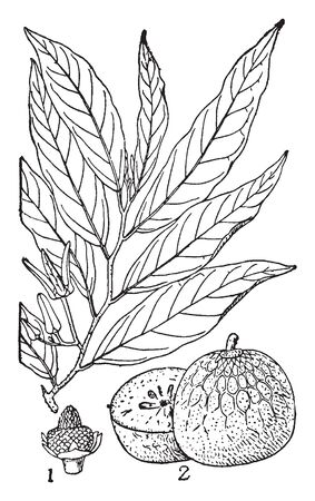 This is the image of Custard Apple and its branches, vintage line drawing or engraving illustration. Illustration