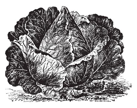 This is image of Charleston Wakefield cabbage. It is very similar to its predecessor in shape and takes about a week longer to reach maturity, vintage line drawing or engraving illustration.