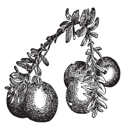 This is the Globular Cranberry having spherical-fruits, small leaf. Stem are thin fully filled with leaves, vintage line drawing or engraving illustration.