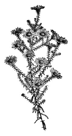 A flower head increases on each stem. The branch look like flower stalk, they attach to direct branch. Flowers are blooming outwards, vintage line drawing or engraving illustration. 矢量图像