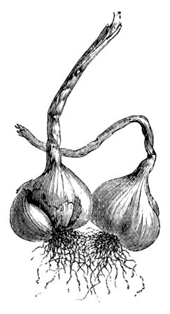 Garlic is small vegetable, garlic arranged in head, entire bulb cover like a white paper, and stalk of garlic very long, vintage line drawing or engraving illustration.