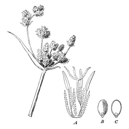 While sedges may be found growing in almost all environments, many are associated with wetlands, or with poor soils its stalk is thick and long, vintage line drawing or engraving illustration.
