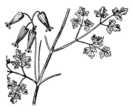 Delicate flowers of Bleeding Heart or Fumitory family are always a delight to find The Bleeding Heart Family is sometimes combined with the Poppy Family & shares at least some medicinal properties, vintage line drawing or engraving illustration. Çizim