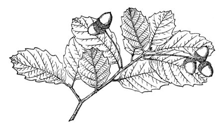 Small thin-skinned variety of orange belonging to the mandarin orange species of the family Rutaceae, vintage line drawing or engraving illustration.