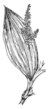 This is a branch of V. Viride. Its leaves are spirally arranged with solid green stem. It is highly toxic plant, vintage line drawing or engraving illustration.