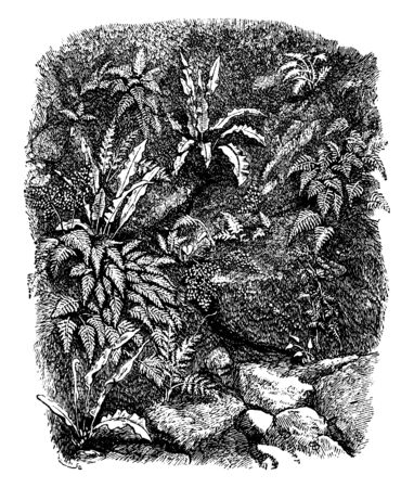 A fernery is a specialized garden for the cultivation. It is a consists of a large cavity, dug in the middle of a hill, covered with sheet glass, vintage line drawing or engraving illustration.