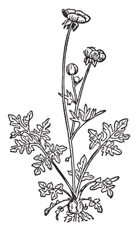 Buttercups are a large genus of flowering plants called Ranunculus, vintage line drawing or engraving illustration.