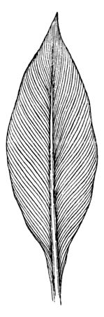 An image of Canna leaf. The leaves are large & parallel veining, vintage line drawing or engraving illustration.
