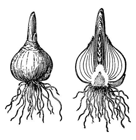The image shows a Bulb of hyacinth. Hyacinth bulbs are poisonous; they contain oxalic acid. Handling hyacinth bulbs can cause mild skin irritation, vintage line drawing or engraving illustration.
