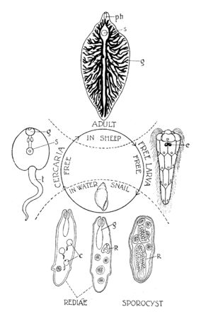 This image represents Liver Fluke Life Cycle, vintage line drawing or engraving illustration.