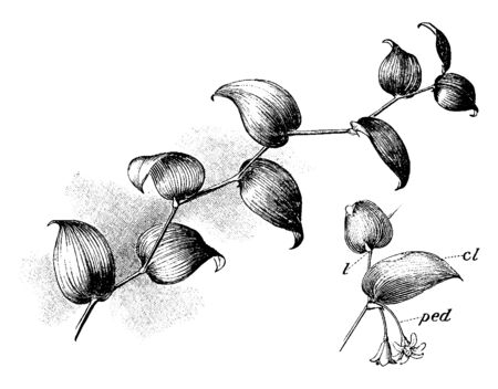 A picture shows the Smilax Plant. They are climbing flowering plants, many of which are woody and thorny; it belongs to monocotyledon family, vintage line drawing or engraving illustration.