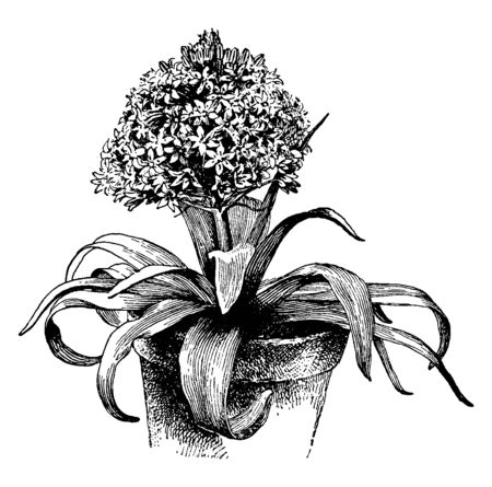 In this frame there is a tree called Scilla Peruvian. Its leaves are large and its flowers are blurry, vintage line drawing or engraving illustration.