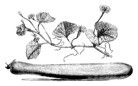 This is image of Flowering Branch and Fruit of Lagenaria Vulgaris. The flowers are white. The fruit is shaped like a bottle, vintage line drawing or engraving illustration.