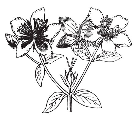 A picture is showing Flower. This is flowers of St. Johns Wort. It is an herbaceous perennial plant. It has bright yellow flowers, vintage line drawing or engraving illustration. Imagens - 132866768