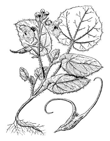 Proboscidea is a flowering plant. The plants produce long, hooked seed pods. They leaves and stem are hairy, vintage line drawing or engraving illustration. 向量圖像
