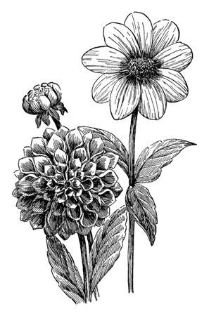 A picture is showing Dahlia. This is a variety of dahlias. Right is Single Petal Dahlia and left is double flowering Dahlia or Ball shaped dahlia, vintage line drawing or engraving illustration.