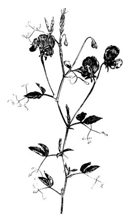 An image of Lathyrus Odoratus plant. Each penduncle has two or three flowers. They flower are fragrant and come in various colors, vintage line drawing or engraving illustration. Çizim