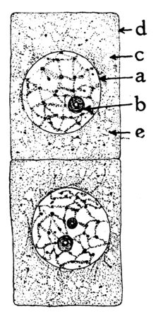 This is picture of onion cell, and there is center of onion peel, vintage line drawing or engraving illustration. 向量圖像