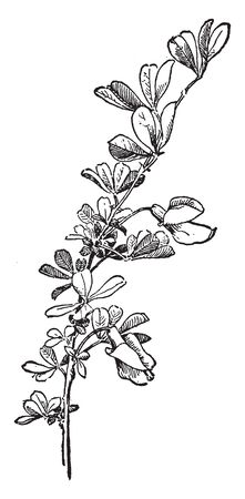 Asian shrubs or small trees has even-pinnate leaves with small leaflets and solitary or clustered mostly yellow flowers and bearing seeds in a linear pod, vintage line drawing or engraving illustration.